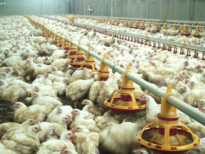 Broiler feeding system – Growket