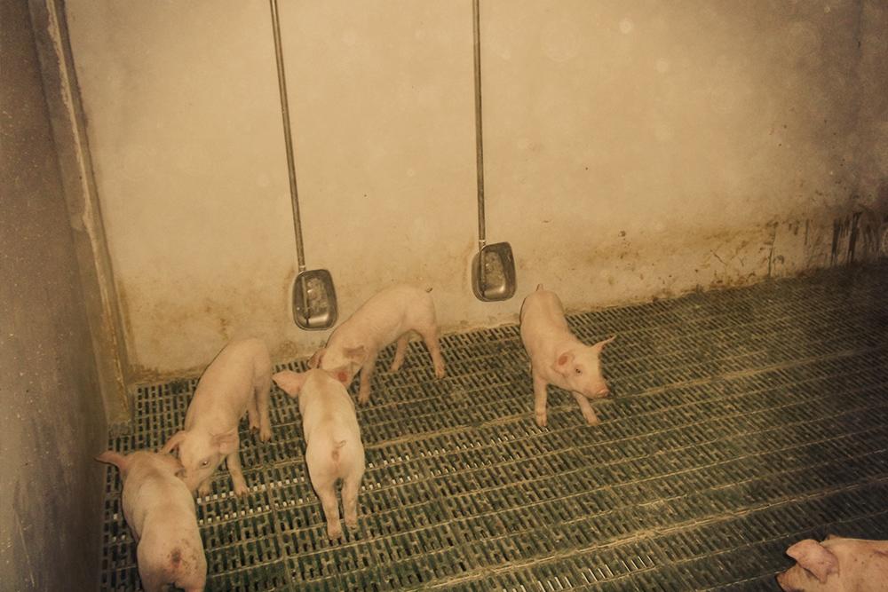 Suelo porcino