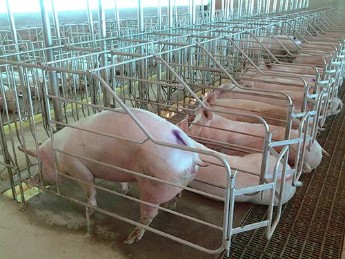 porcino-alojamiento-gestacion-box-macizo-growket-2