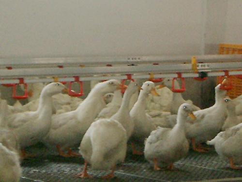 sistema-agua-patos-primer-dia-growket-1